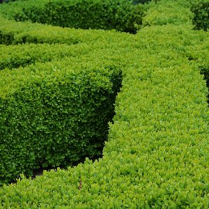 Mature Buxus Hedge