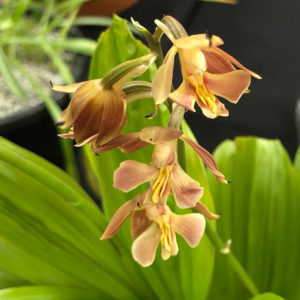 Calanthe Orchid - Takane Hybrid