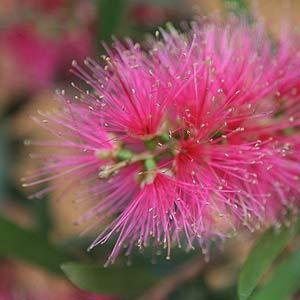 Callistemon Pink Mist