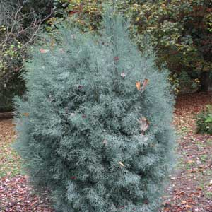 Callitris oblonga - Tasmanian Cypress Pine