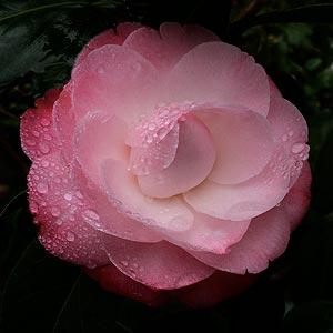Camellia x japonica 'Desire'