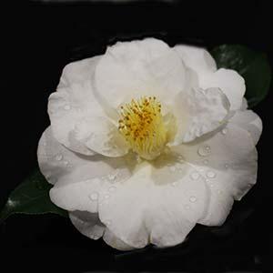 White Flowering Camellia japonica 'Lovelight'