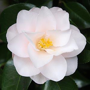Camellia magnoliaeflora