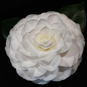 Formal white flowering camellia Nuccio's Gem