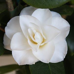 Camellia Polar Bear