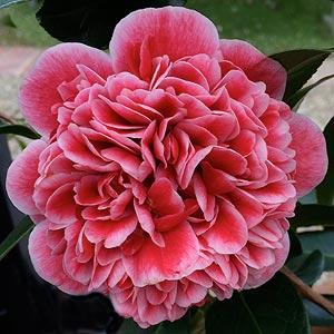 Camellia Volunteer