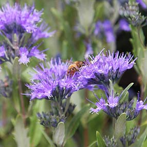 "Caryopteris clandonensis ""Heavenly blue'"
