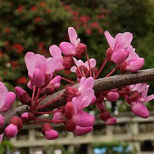 Cercis canadensis 'Covey' (Lavender Twist)