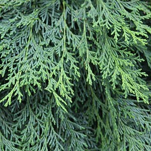 Chamaecyparis lawsoniana Blue Jacket