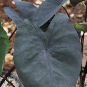 colocasia-esculenta-black-magic