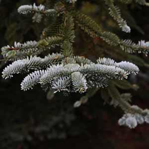 Conifer Trees