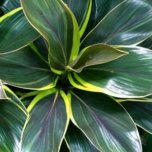Variegated Cordyline Variety