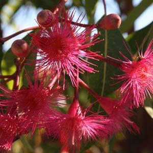 Corymbia Summer Glory
