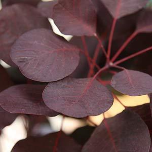 Cotinus foliage