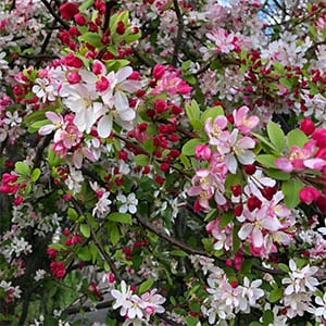 Crabapple Tree in Flower