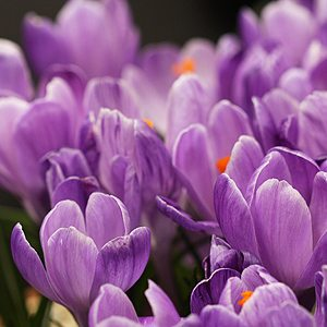 Crocus Bulb in Flower
