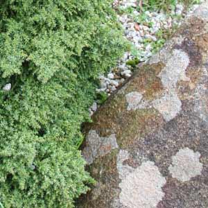 cryptomeria-japonica-tansu