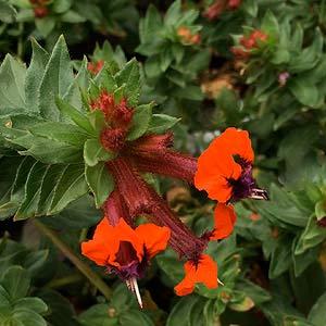 Cuphea llavea 'tiny mice'