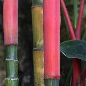 Cyrtostachys renda (Lipstick Palm)