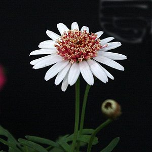 Argyranthemum-frutescens-'Summer-Eyes'