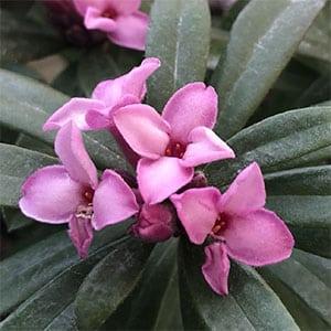 Daphne Spring Pink