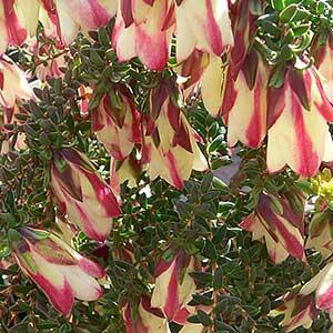 Darwinia macrostegia - The Mondurup Bell