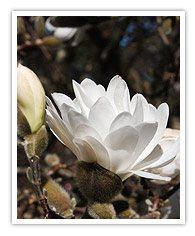 Deciduous Magnolias types
