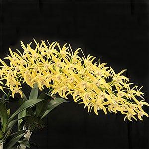 Dendrobium speciosum - Hybrid