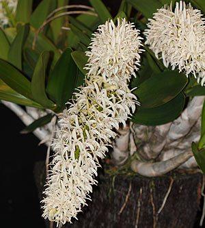 Dendrobium speciosum National White