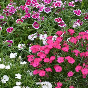 Dianthus barbatus - Sweet Williams