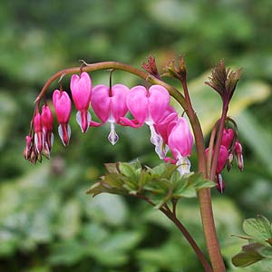 Bleeding Heart Plant - Lamprocapnos spectabilis.