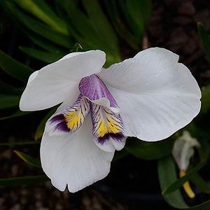 Diplarrena latifolia