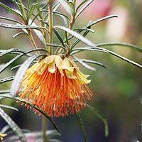 diplolaena angustifolia (native-rose)