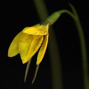 Diuris behrii - Golden Cowslip Orchid