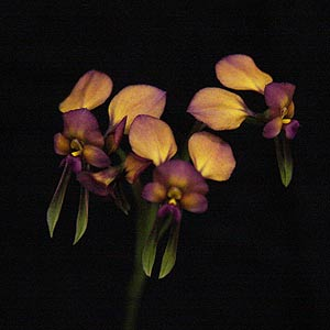 Diuris longifolia - Purple Pansy or Donkey Orchid