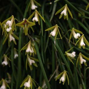 Dockrillia Orchid