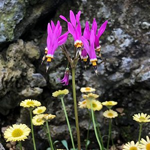 Dodecatheon meadia in the Garden