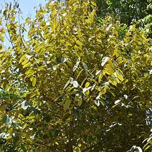 Durio graveolens -  'Durian Kuning'
