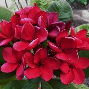 Dwarf frangipani - Scarlet  Beauty