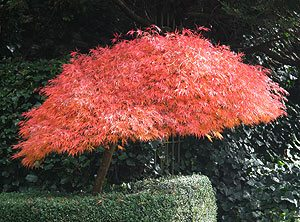 Dwarf Japanese Maple.
