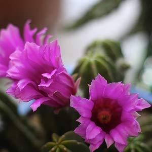 Echinocereus viereckii morricalii