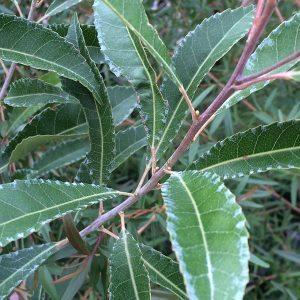Elaeocarpus reticulatus - Blueberry Ash