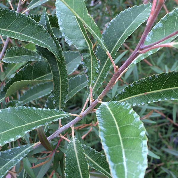 Elaeocarpus Reticulatus The Blueberry Ash Nurseries Online