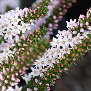Epacris pulchella - Coral Heath