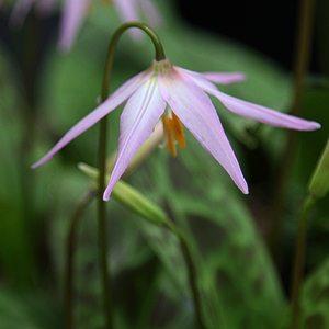 Spring Flowering Bulb - Erythronium revolutum