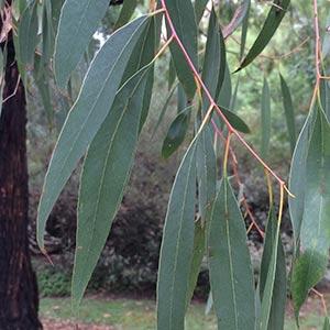 Eucalyptus radiata - Narrow Leafed Peppermint - Foliage detail.