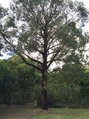 Eucalyptus radiata - Narrow Leafed Peppermint.