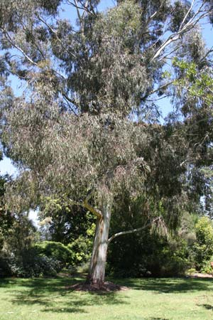 Eucalyptus scoparia - Wallangarra White Gum