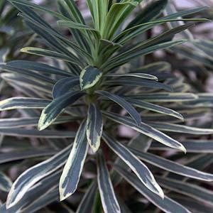 Euphorbia wulfenii Silver Swan
