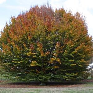 Fagus sylvatica Rotundifolia